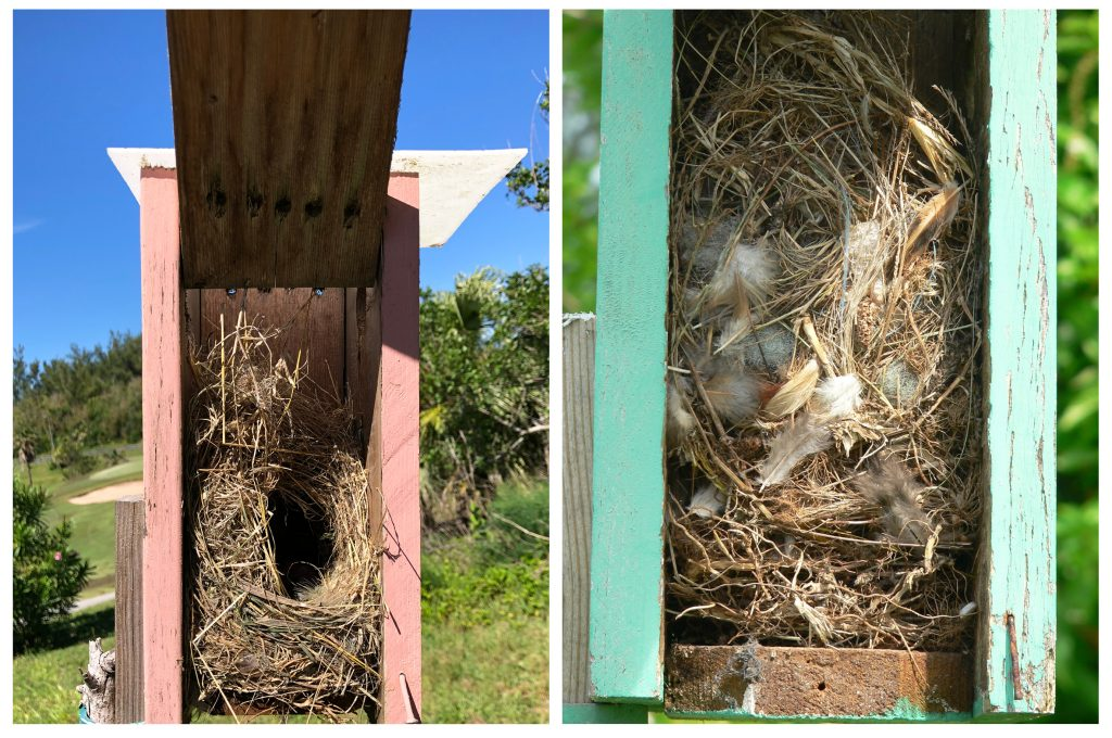 Sparrow Control Bermuda Bluebird Society